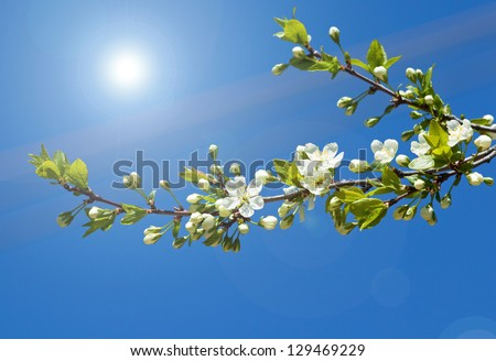 Spring branch of cherry tree - stock photo