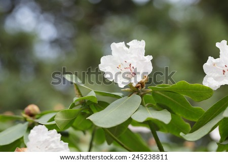 spring branch of white Rhododendron bush, close up - stock photo