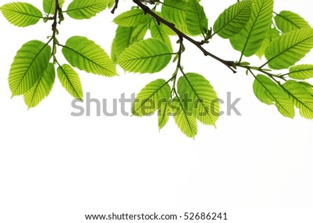 Spring branch with leaves on white background