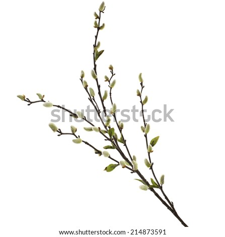 Spring branches Catkins Willow isolated on white background - stock photo
