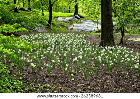spring bright flower meadow narcissus in city park - stock photo