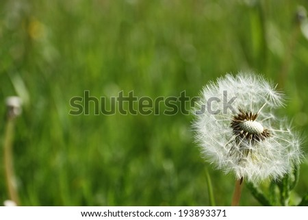 spring bright meadow with dandelion, close up - stock photo