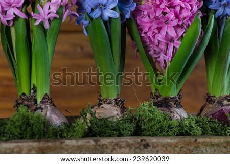 Spring bulb flowers in ceramic pot - stock photo