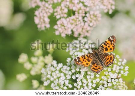 Spring butterfly - Araschnia levana - stock photo