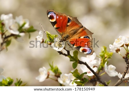 Spring, Butterfly European Peacock (Inachis io) on the flourishing fruit tree as background