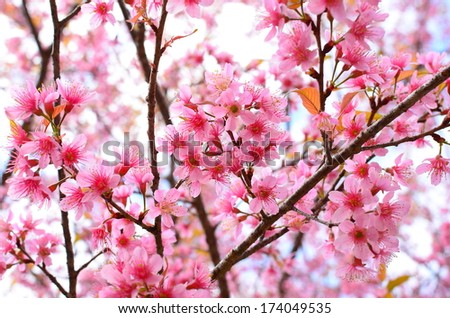 Spring Cherry Blossom - stock photo