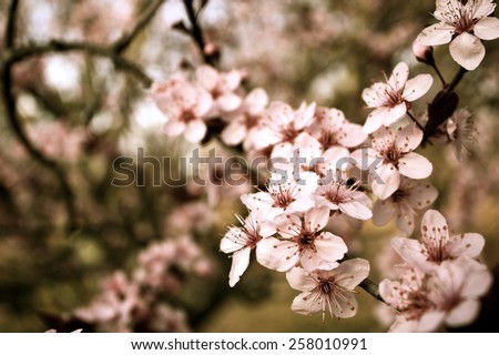 Spring cherry blossom Background royalty free stock photo for greeting card, ad, promotion, poster, flier, blog, article, social media, marketing - stock photo