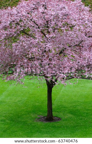 Spring cherry blossom in garden, vancouver island, bc, canada - stock photo