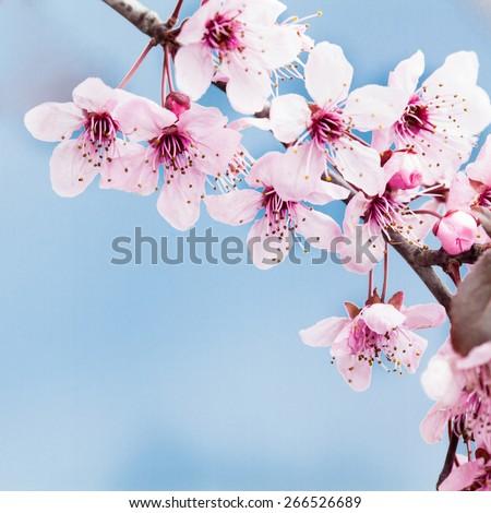 Spring cherry blossom on blue backkground - stock photo