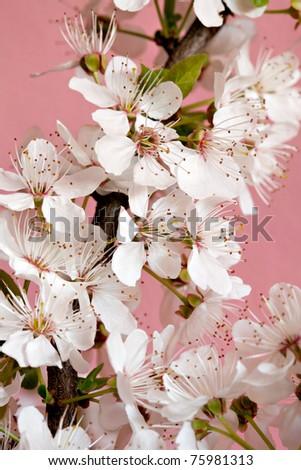 Spring cherry blossom,Shallow Dof. - stock photo