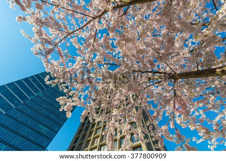 Spring, cherry blossom time in the city. View, angle, perspective from the bottom at highrisers  buildings and cherry blossomed trees aspired to the sky. Vancouver. - stock photo