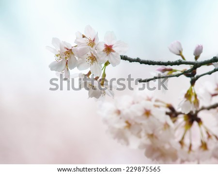 Spring cherry blossom with pastel blue and pink background. - stock photo