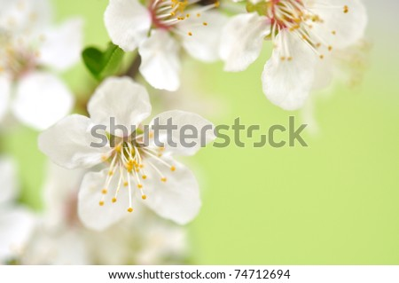 Spring cherry blossom with soft focus