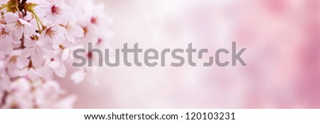 Spring Cherry blossoms in full bloom. Made in horizontal long dimension, for easy use in title bars. - stock photo