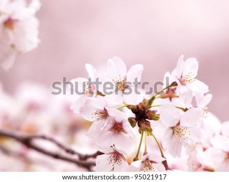 Spring Cherry blossoms in full bloom under soft spring light. - stock photo