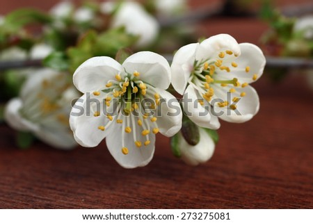Spring cherry blossoms on a wooden background - stock photo