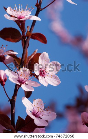 Spring cherry blossoms on  blue background - stock photo