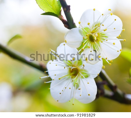 Spring cherry blossoms on pink background - stock photo