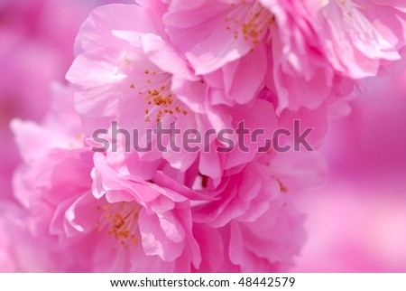 Spring cherry blossoms on pink background,closeup. - stock photo