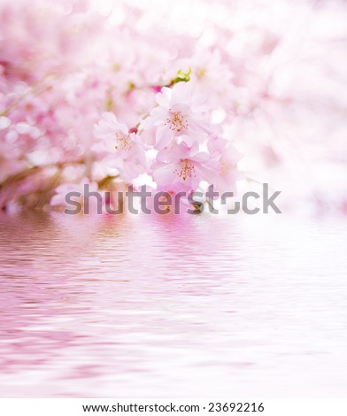 Spring cherry blossoms on pink background with water reflection