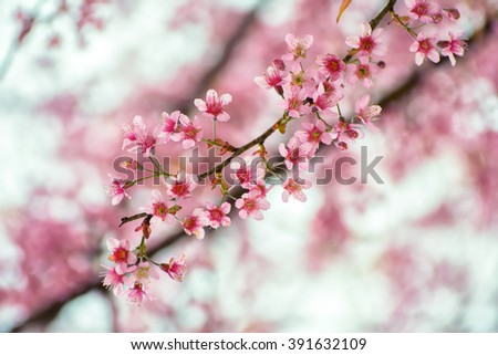 Spring Cherry blossoms, pastel pink background
