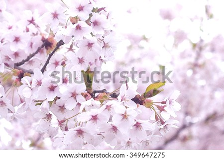 Spring Cherry blossoms, pink flowers - natural background - stock photo