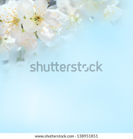 spring cherry flower on the blue background