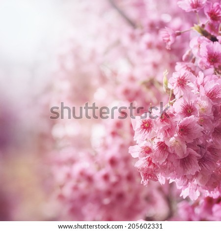 Spring cherry tree blossoms - stock photo