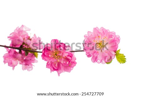 Spring cherry tree blossoms isolated on white background.