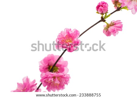 Spring cherry tree blossoms on white background - stock photo