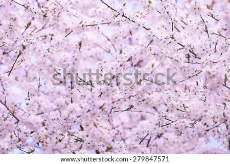 spring cherry tree flowers in bloom close up - stock photo