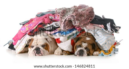 spring cleaning - two english bulldogs laying under a pile of clothes isolated on white background - stock photo
