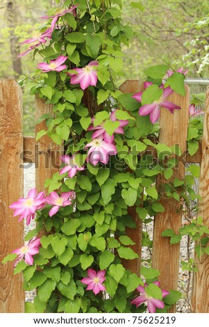 spring clematis vines full of lovely pink flowers climb their way over the backyard gate