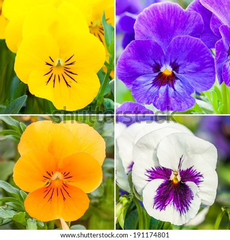 Spring collage of colored pansies