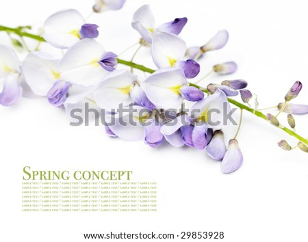 spring concept. young spring flowers (wisteria) against white background.