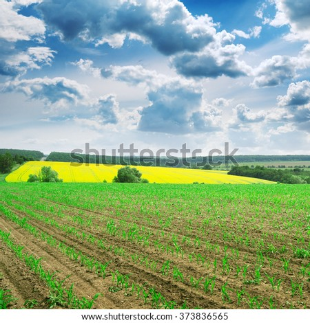 spring corn field and blue sky - stock photo