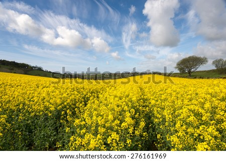 Spring countryside of yellow rapeseed fields in bloom near Looe in Cornwall