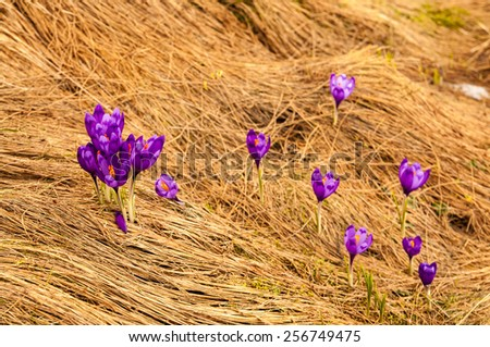 Spring crocus flowers in the mountains. - stock photo