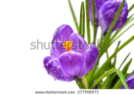 Spring crocus flowers  with drops of water isolated on white background. Selective focus
