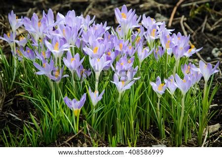 spring crocuses  - stock photo