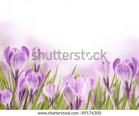 Spring crocuses flowers - stock photo