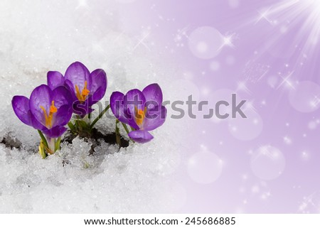 Spring crocuses in snow on a purple background. Space for text - stock photo