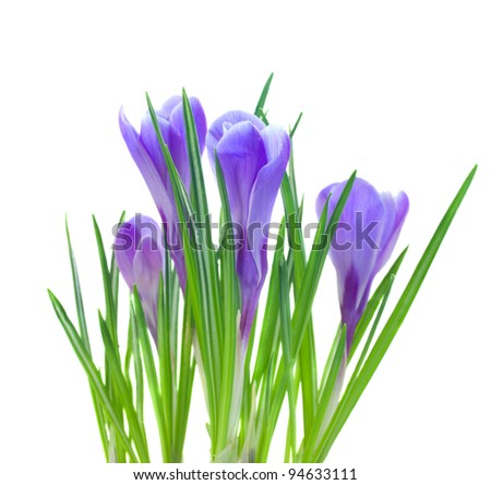 spring crocuses isolated on white
