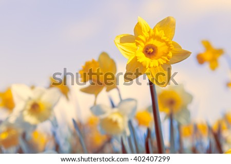 Spring Daffodil Flowers Background, Vivid Pastel Colours Shallow Depth of Field - stock photo