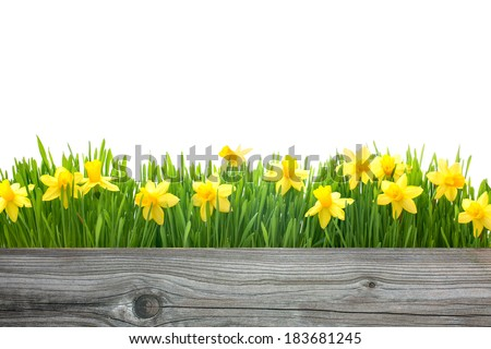 spring daffodils flowers with copy space for your message - stock photo