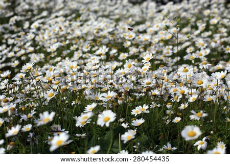 Spring daisies on the natural place - stock photo
