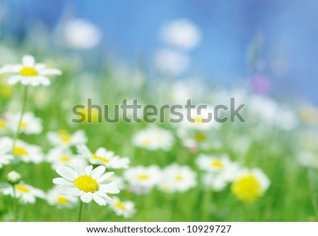 spring daisy flowers with green grass blue sky, beautiful outdoor nature scene selected depth of field - stock photo
