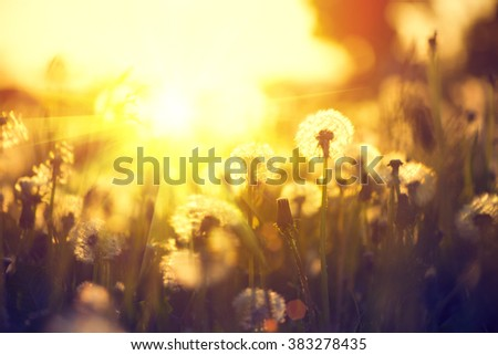 Spring Dandelion field over sunset background. Dandelion blowing seeds in the wind. Nature scene - stock photo