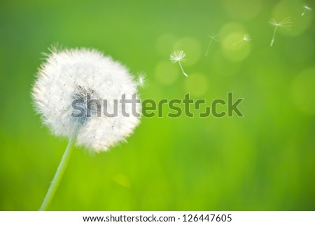 Spring dandelion on green natural background - stock photo