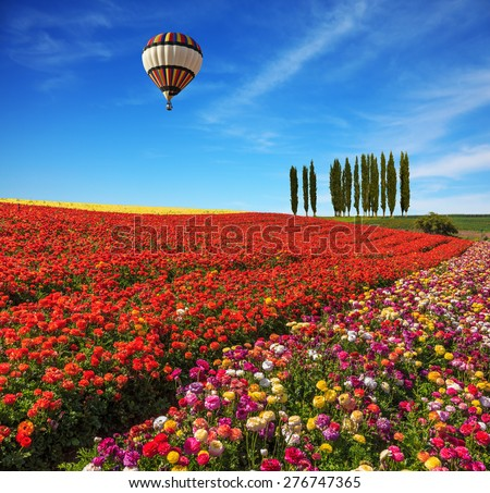 Spring  day. Huge balloon flying over the field. Field of colorful blooming buttercups - ranunculus. On the horizon is growing cypress alley - stock photo